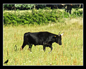 Carmaguaise bull. by jennystokes