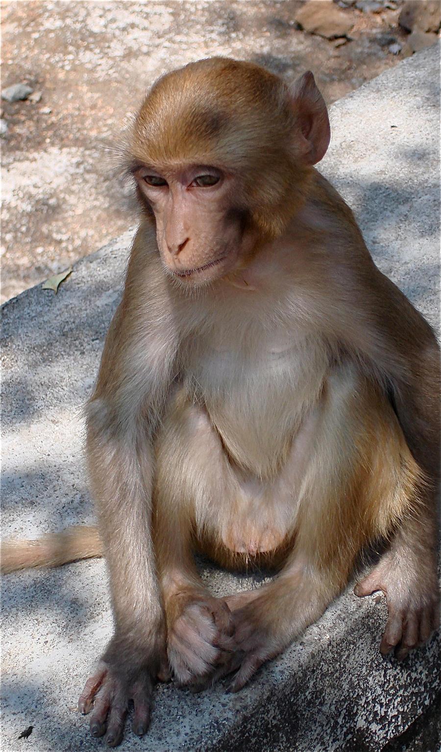 Wise monkey. India by jennystokes