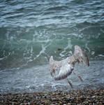 Seagulls 5 by jennystokes