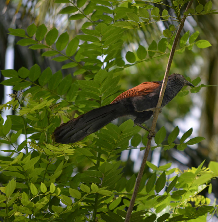 Greater Coucal 1 SL by jennystokes