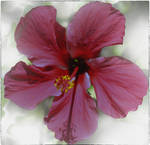 Hibiscus by jennystokes