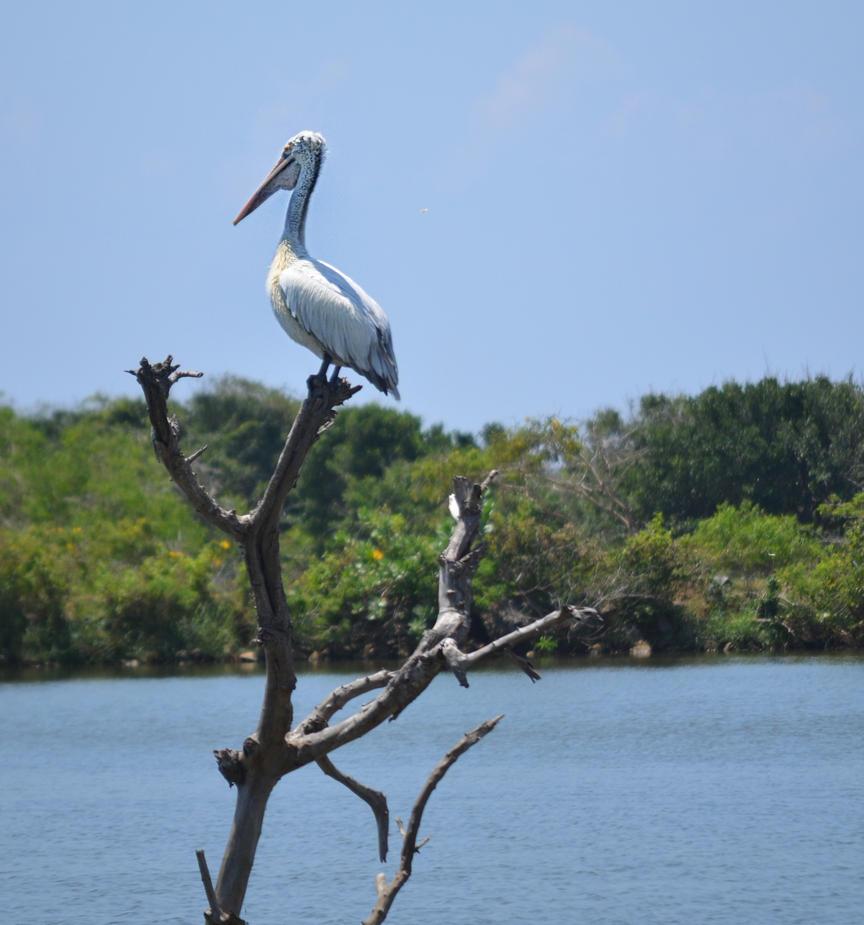 Pelican. Yala. SL by jennystokes