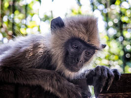 The other Langur monkey. 2 by jennystokes