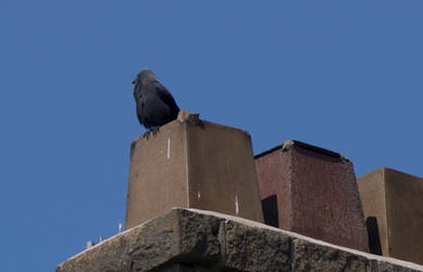 Fluffy Crow and chimneys. Lancaster. England by jennystokes