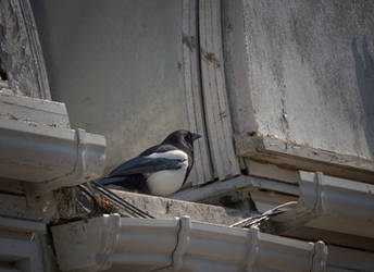 Magpie and rotting wood. by jennystokes
