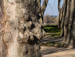 Les Platain. Beaucaire. Fr.  Plane Tree. by jennystokes