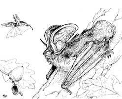Long-eared bat by batworker