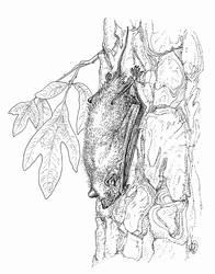 Ikaronycteris index
