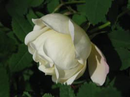 Pretty Rose by Piikkisika