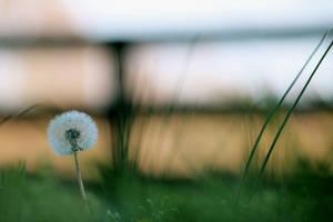 Dandelion by Bien-Fang
