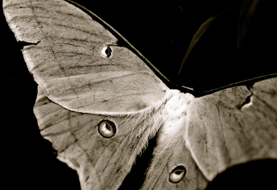 Luna Moth - Black and White