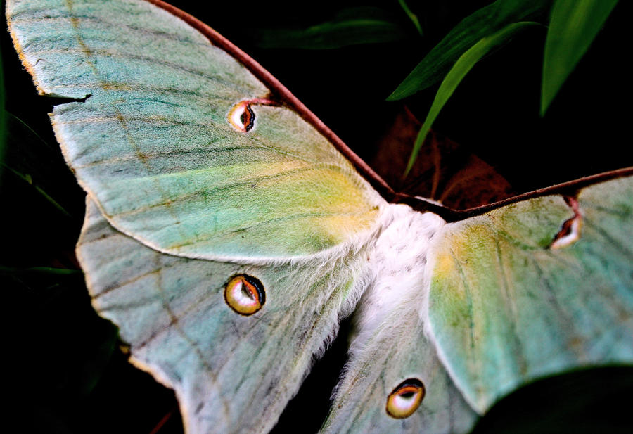 Luna Moth - Saturated by Bien-Fang