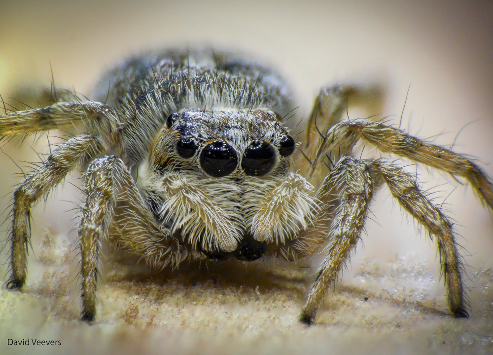 jumping spider by DavidVeevers