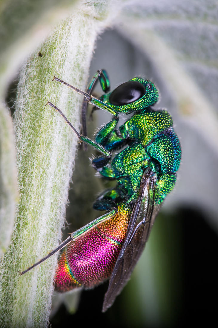 Cuckoo Wasp by DavidVeevers