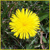 Dandelion by spacingham