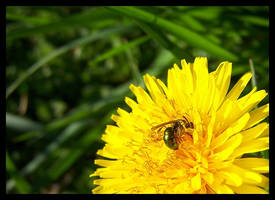 sweatbee_001 by spacingham