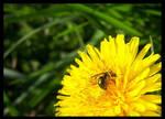 sweatbee_001 by spacingham
