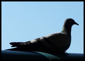 pigeon_001 by spacingham