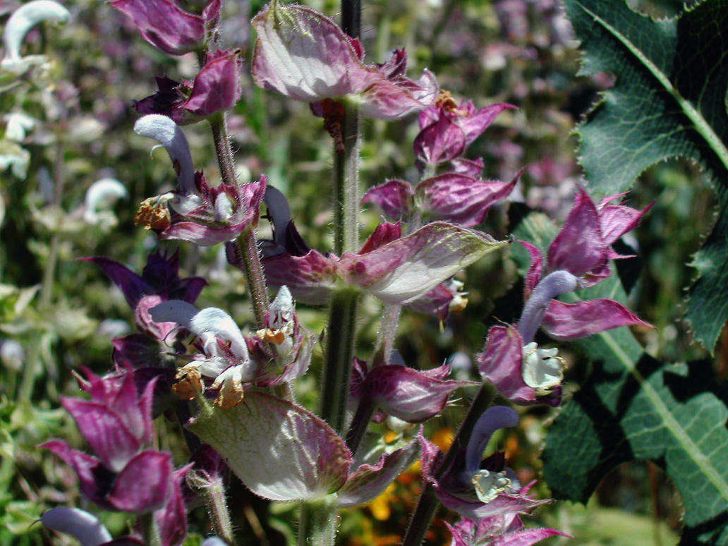 Clary sage where to buy