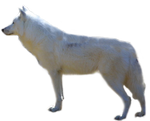 Arctic wolf PNG