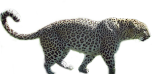Panther png stock