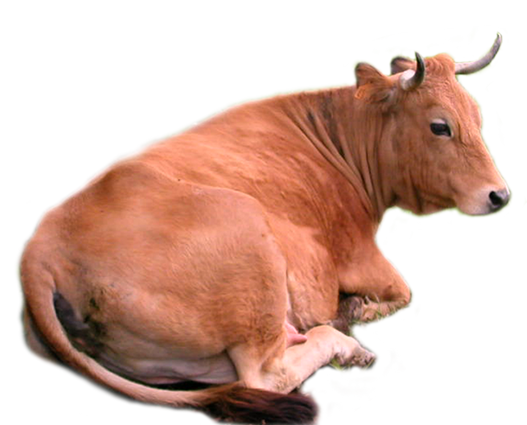 Cow Png Images
