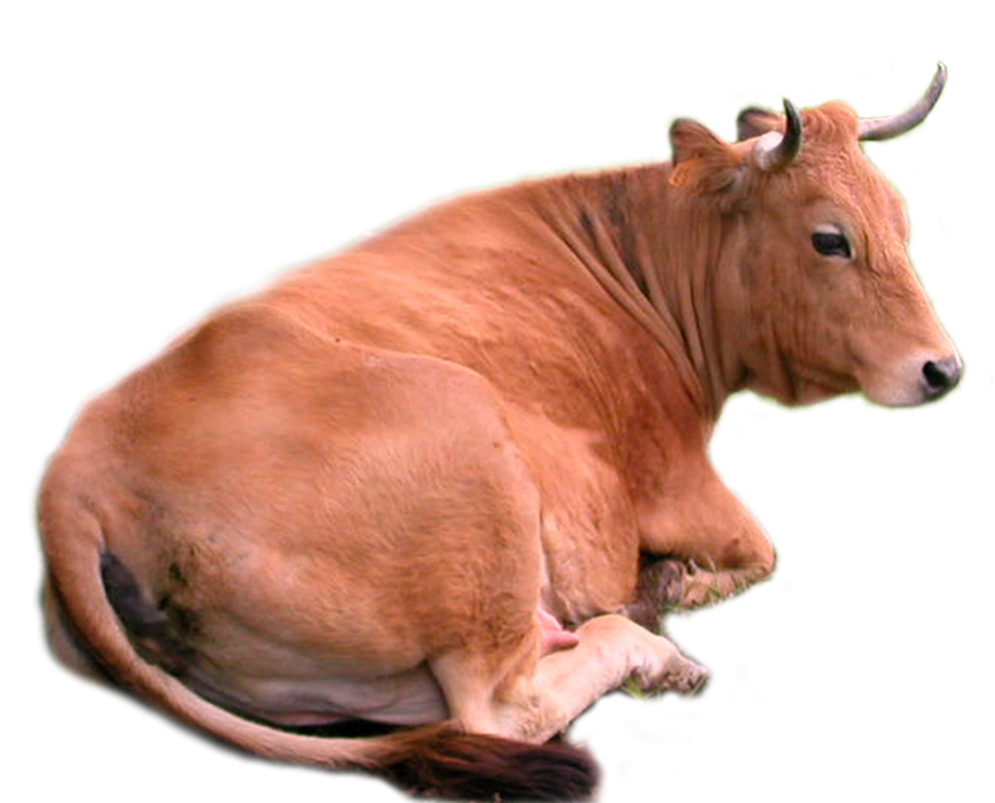 images of domestic animals cow - photo #45