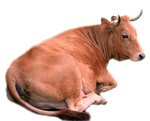 Cow png stock