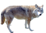 Wolf1 png stock