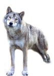 wolf png stock