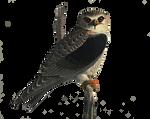 Hawk png stock
