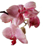 Orchid PNG stock