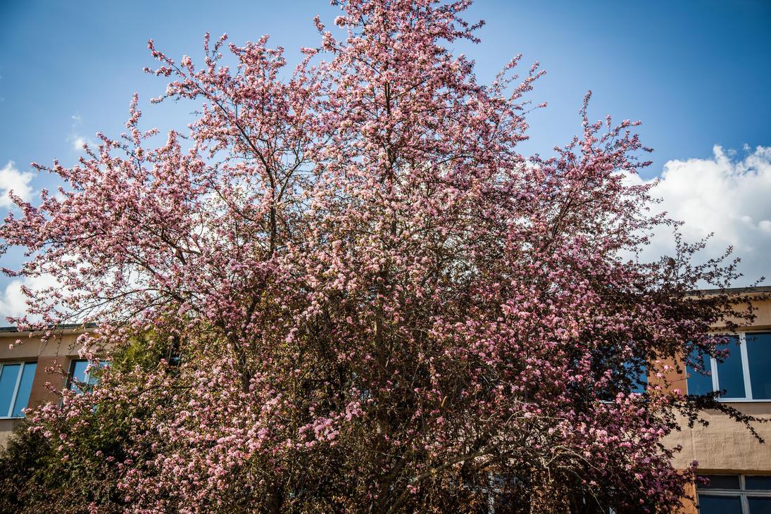 Apple Tree Blossom #2 by Kakyc
