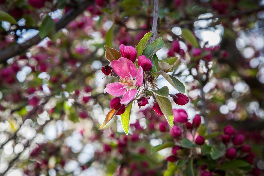 Apple Tree Blossom #3 by Kakyc