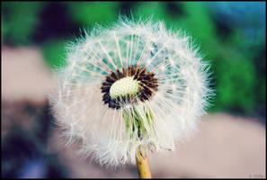 ::Dandelion Wishes::