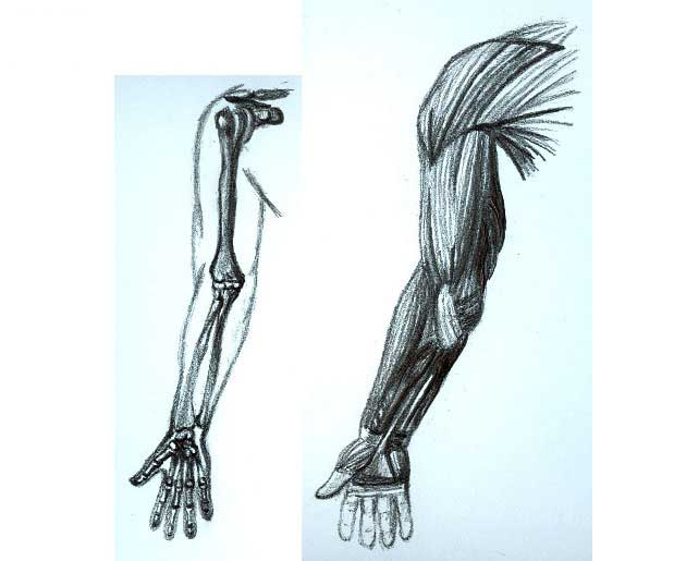 Arm and Bone Anatomy by Bellafira on DeviantArt
