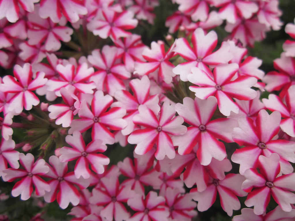 Pink and white flowers by floralovenl on deviantart pink and white flowers by floralovenl mightylinksfo