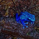 Blue Frog by Ian4444