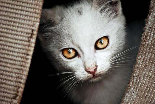 white kitten