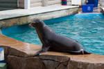 Sea Lion 28 by NoAttributionStock