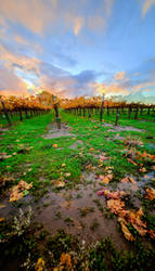 HDR Vineyard by glacierdog
