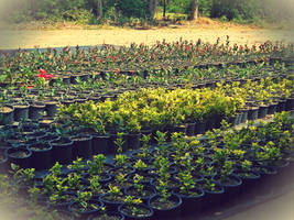 shrubs 3