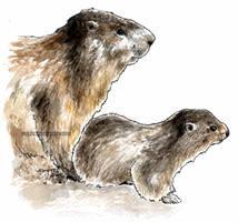Marmota cria