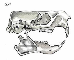 Marmota crani by VickyTico