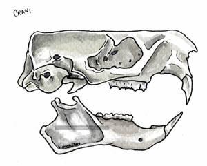 Marmota crani