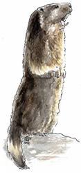 Marmota xiulant by VickyTico