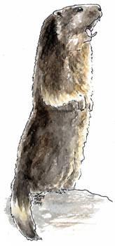 Marmota xiulant
