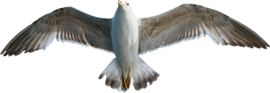 Seagull PNG #2