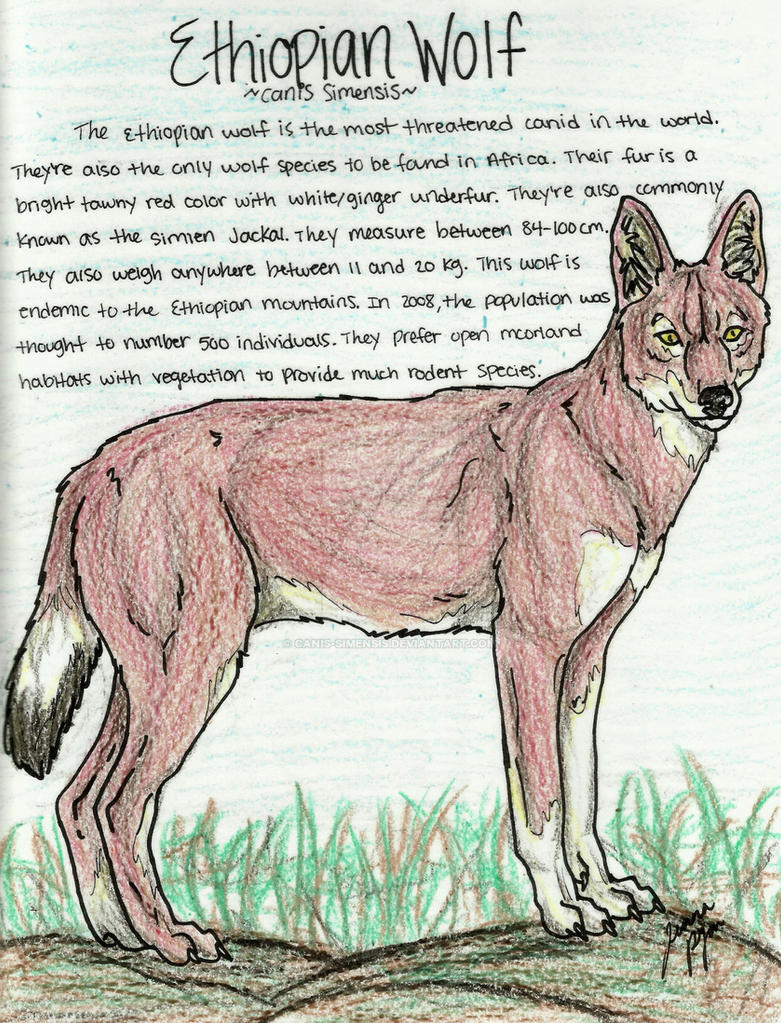 Ethiopian Wolf coloring page by Canis-Simensis on DeviantArt