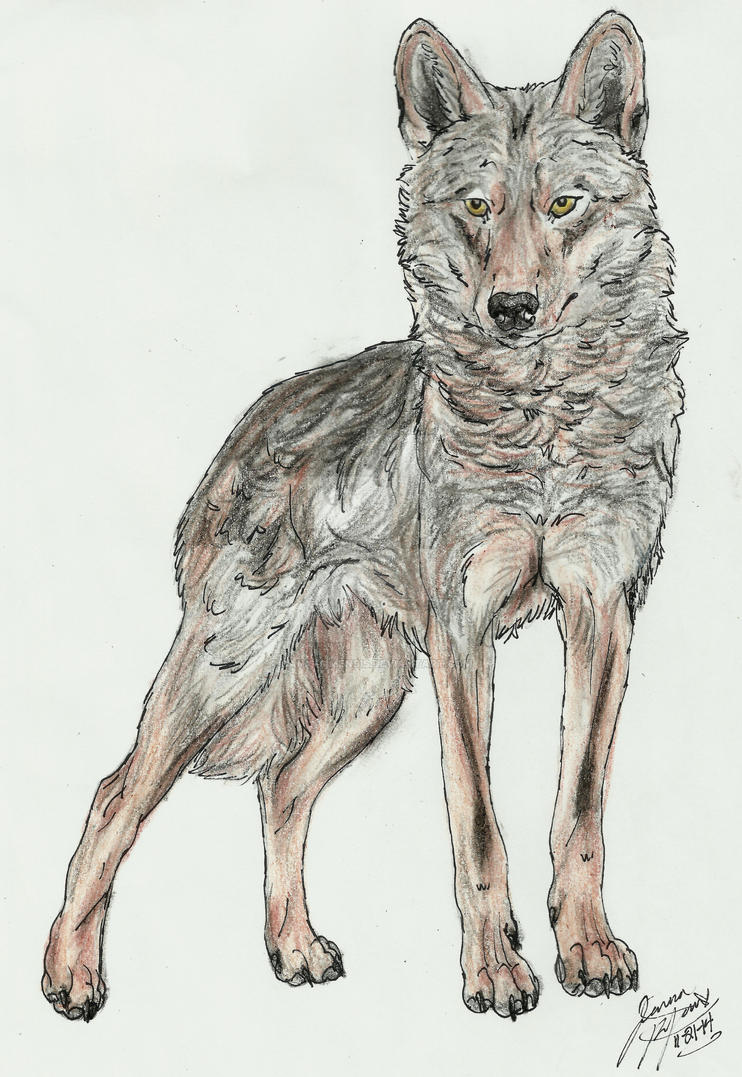 Iberian wolf stance by Canis-Simensis
